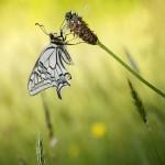 papillon_sandra